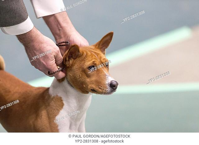 Seattle, Washington: A Portuguese Podengo Pequeno in the ring at the 2017 Seattle Kennel Club Dog Show. Approximately 160 different breeds participate in the...