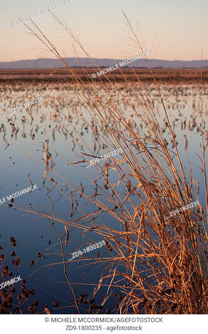 The shallow wetlands at Northern California's Staten Island are perfect habitat for Sandhill Cranes