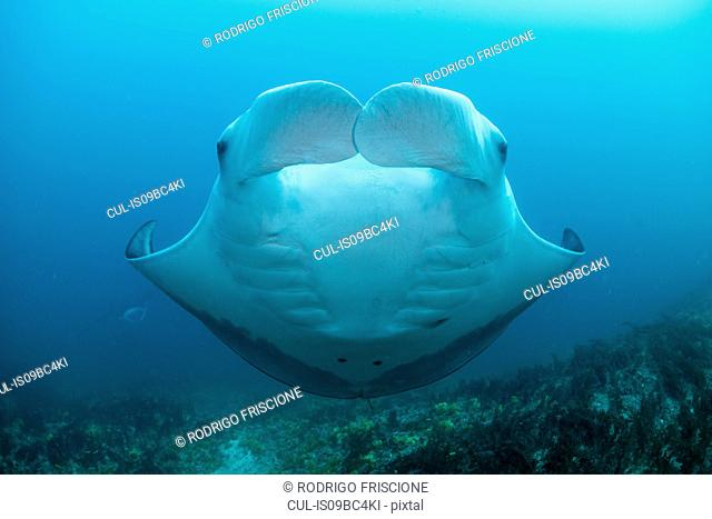 Portrait of giant manta, front view, Cancun, Mexico