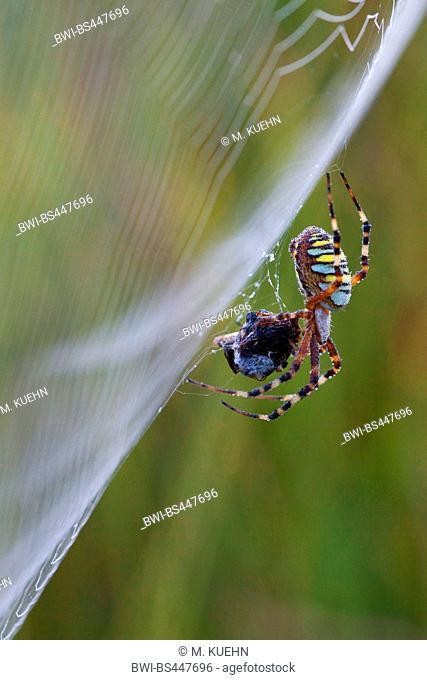 Black-and-yellow argiope, Black-and-yellow garden spider (Argiope bruennichi), wrapping preyed insect, in the cobweb, Germany, Bavaria
