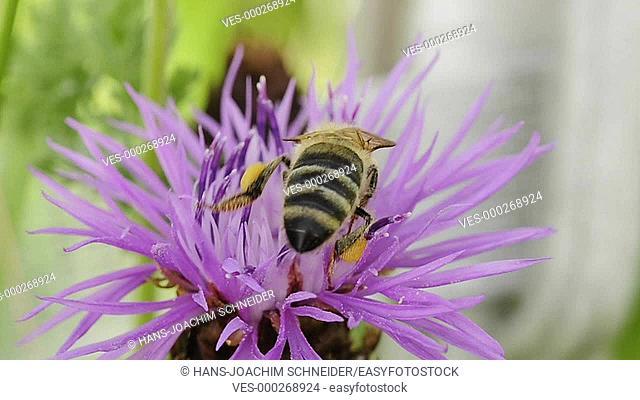 bee on brown knapweed