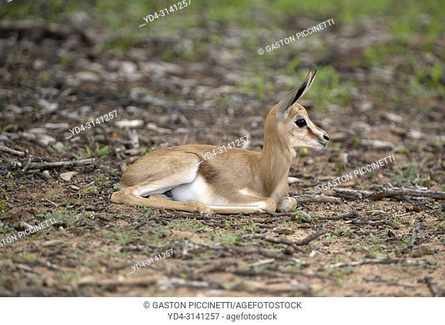 Springbok (Antidorcas marsupialis) - Lamb, Kgalagadi Transfrontier Park in rainy season, Kalahari Desert, South Africa/Botswana