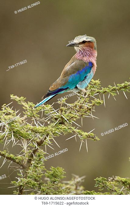 Abyssinian Roller. Coracias abyssinicus