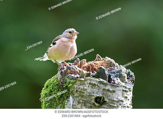 Common chaffinch (Fringilla coelebs) Scotland, UK