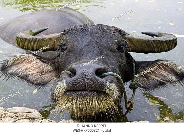 China, Xing Ping, View of water buffalo, close up