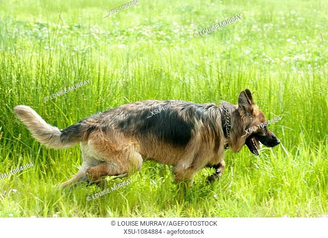 Geauga County, Ohio USA K9 police unit in training Officer Sandra Lesko with single use German shepherd Eliot Ness who is a trained cadaver or corpse dog  The...