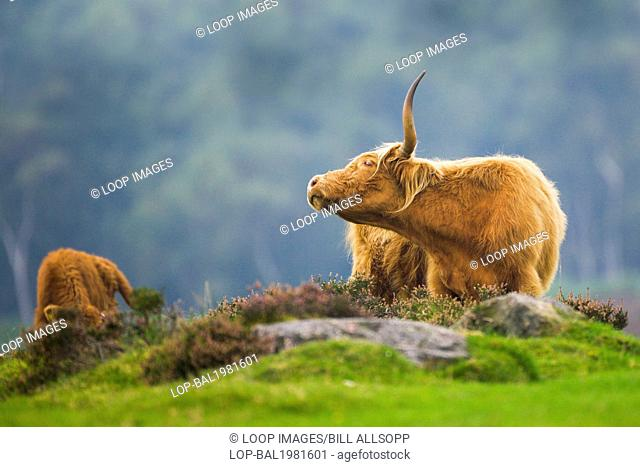 A Highland cow and calf grazing moorland