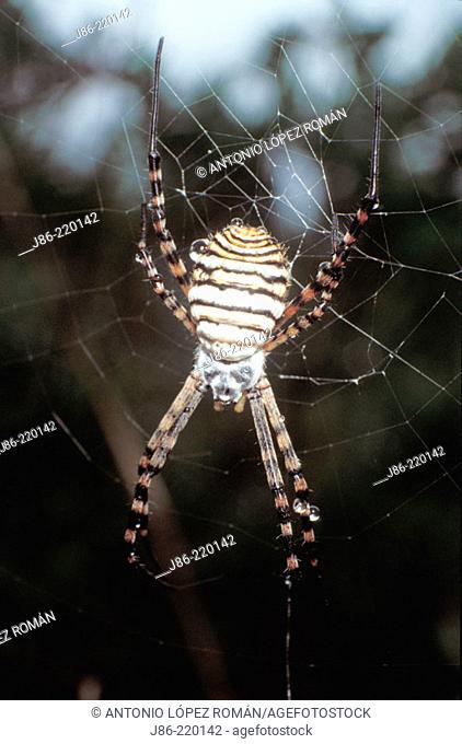 Spider (Argiope trifasciata)