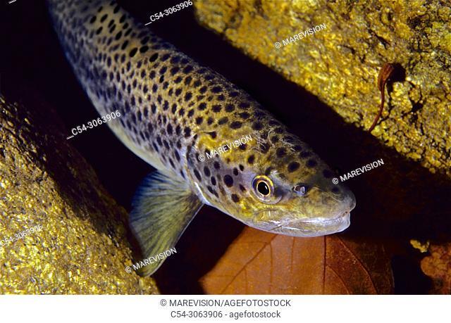 Freshwater Rivers. Sea trout (Salmo trutta trutta). Caraño river. Barcia de Mera. Pontevedra. Galicia. Spain. Europe
