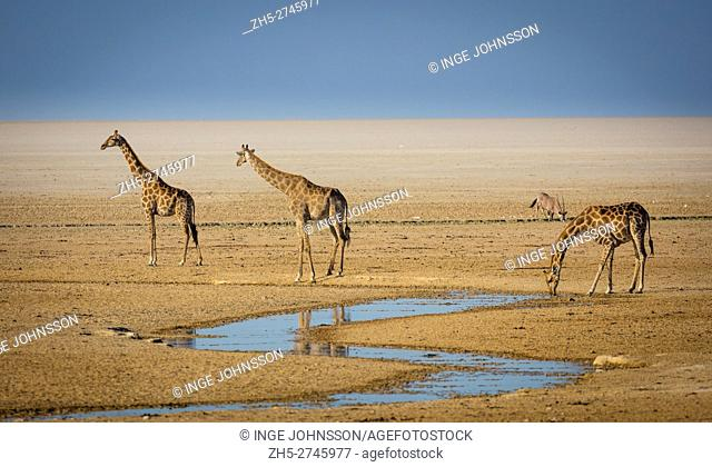 The giraffe (Giraffa camelopardalis) is an African even-toed ungulate mammal, the tallest living terrestrial animal and the largest ruminant