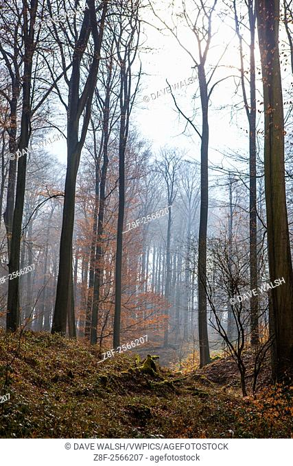 "The Sonian Forest, Foret de Soignes, or Zoniënwoud, an 11,000 hectare woodland to the southeast of Brussels, providing a """"green lung"""" for the polluted"
