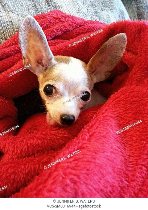 Close-up of a female chihuahua in a red blanket indoors