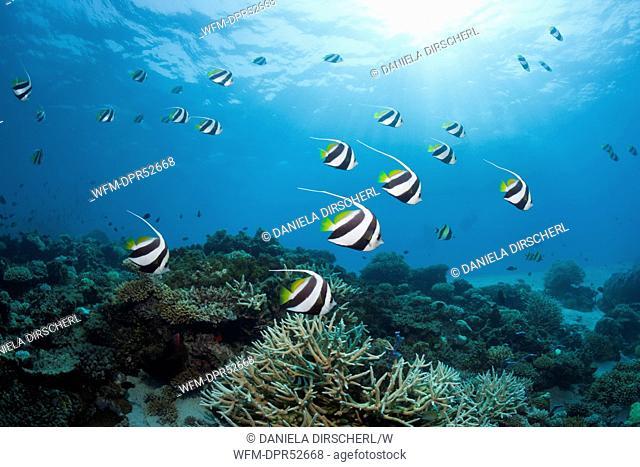 Pennant Bannerfish over Reef, Heniochus diphreutes, North Male Atoll, Maldives