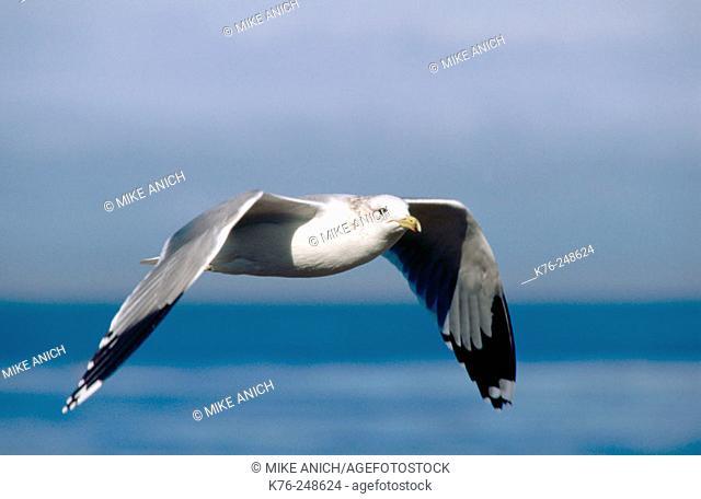 California gull (Larus californicus). Monterey Bay. California
