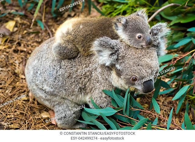 Australian koala bear native animal with baby on the back