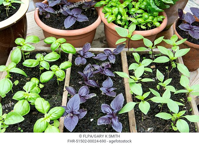 Basil (Ocimum basilicum) green, purple and 'Thai' varieties, pot grown seedlings in garden greenhouse, Norfolk, England, July