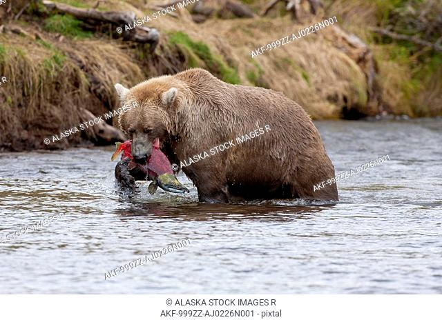 Brown bear catches a salmon in its mouth, Grizzly Creek, Katmai National Park and Preserve, Southwest Alaska, Summer