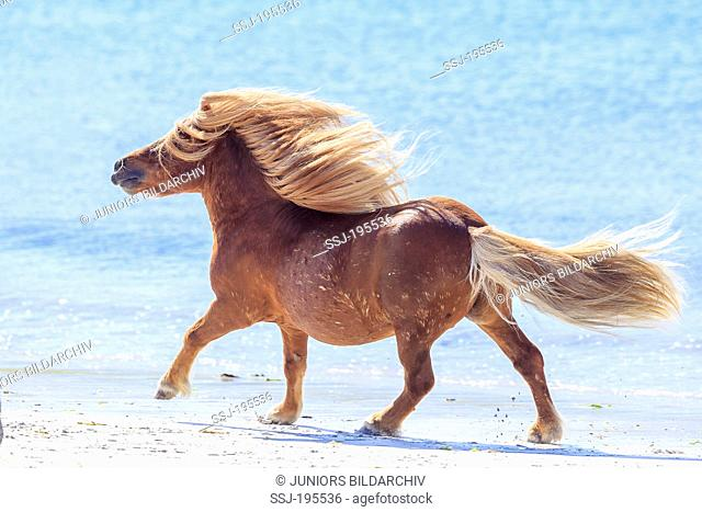 Shetland Pony. Chestnut stallion galloping on a beach. Burra, Shetlands