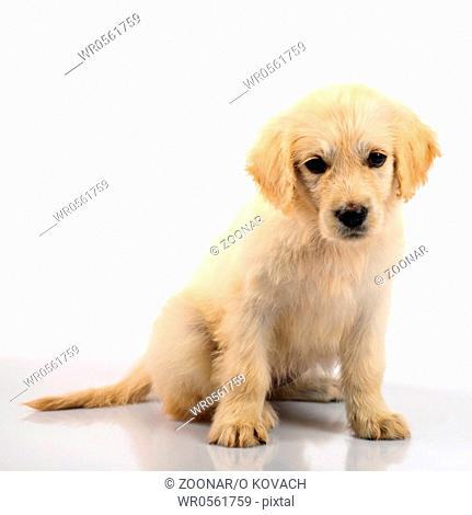Golden retriever puppy isolated