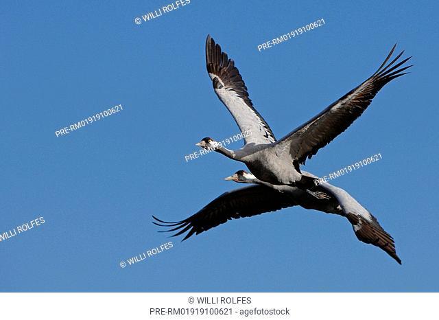 Crane, Grus grus