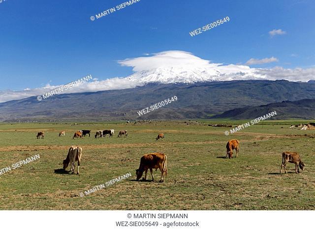 Turkey, Eastern Anatolia, Agri Province, Mount Ararat, Cows on meadow