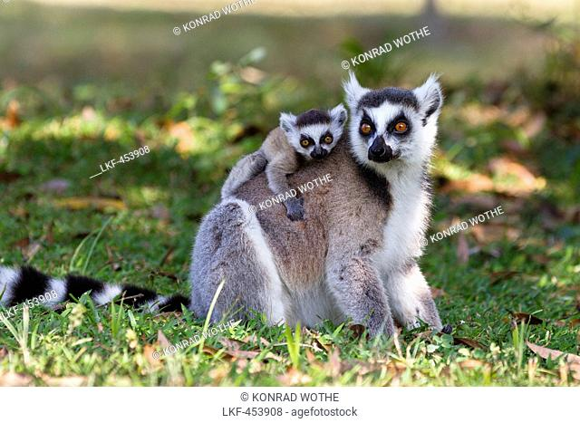 Ringtailed Lemur with baby, Lemur catta, Nahampoana Reserve, South Madagascar, Africa