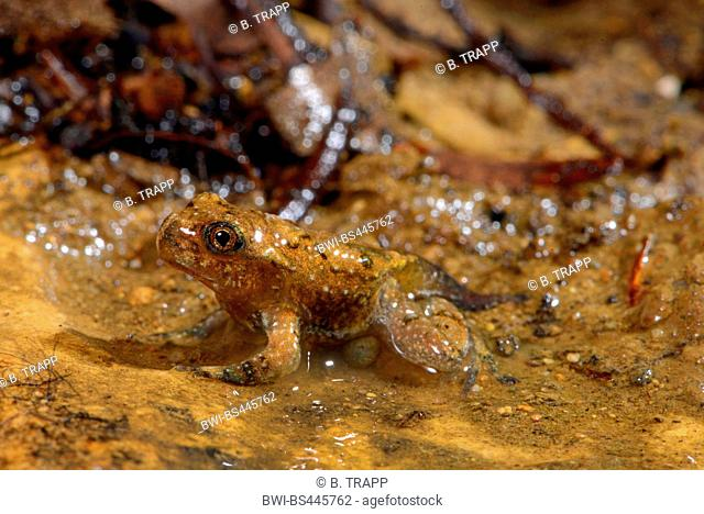 Yunnan firebelly toad, Large-webbed bell toad (Bombina maxima), just metamorphed juvenile, China
