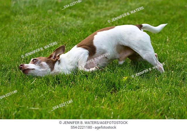 An adult male chihuahua rolling in the grass