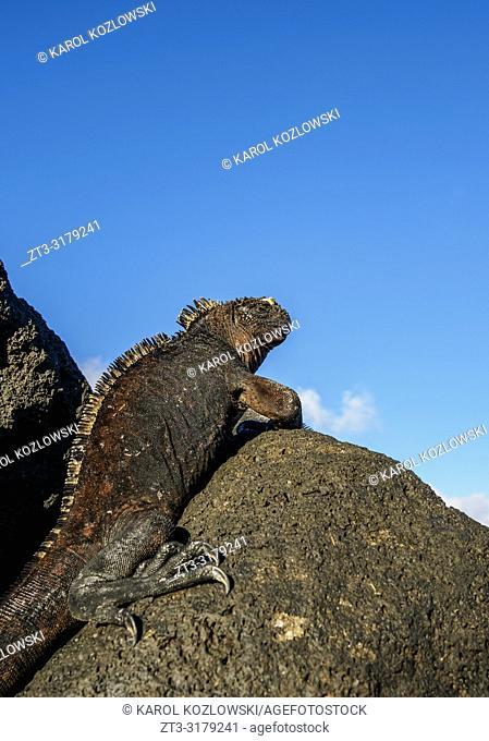 Marine iguana (Amblyrhynchus cristatus), San Cristobal or Chatham Island, Galapagos, Ecuador