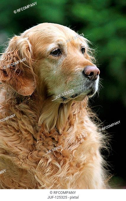 Golden Retriever - portrait