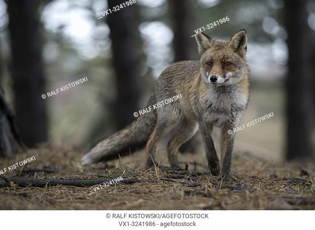 Red Fox / Rotfuchs ( Vulpes vulpes ) in winter fur, stands in a coniferous forest, watching attentively, nice soft colours