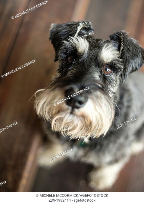 A miniature schnauzer gazes longingly