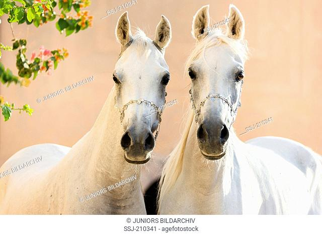 Arabian Horse. Portrait of two gray mares, head-to-head. Egypt