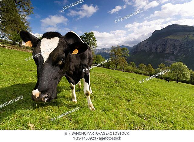 Cow grazing, Valle del Miera, Cantabria, Spain