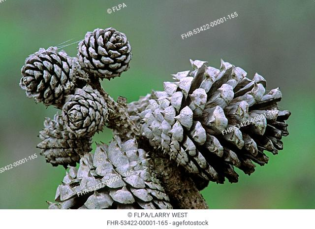 Bishop Pine Pinus muricata cones, California, U S A , april