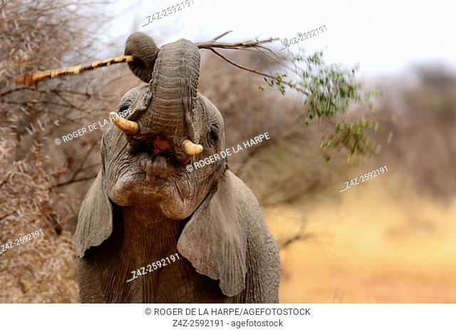 African bush elephant (Loxodonta africana) playing with a branch. Madikwe Game Reserve. North West Province. South Africa