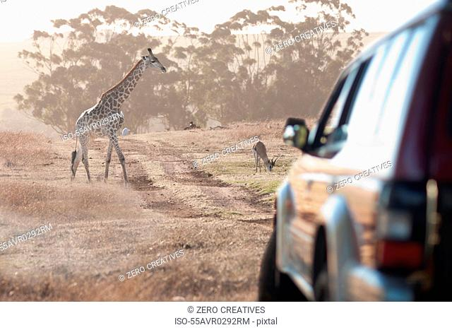 Giraffe by vehicle, Stellenbosch, South Africa