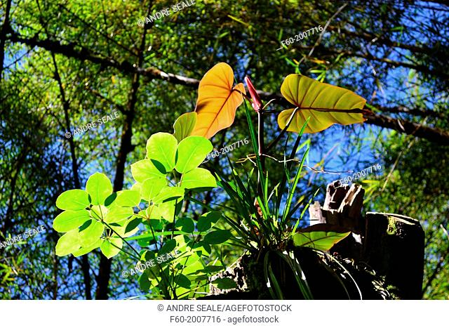 Leaves lit by sunlight surrounded by a bamboo forest, Akaka Falls State Park, Big Island, Hawaii, USA