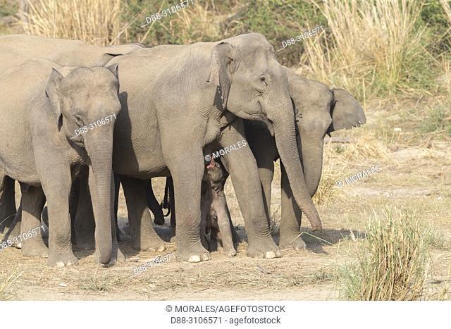 Asia, India, Uttarakhand, Jim Corbett National Park, Asian or Asiatic elephant (Elephas maximus), Group of females with a new born baby