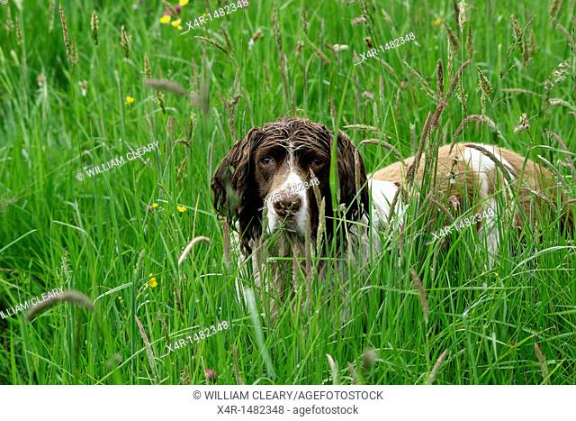 Springer Spaniel in meadow grass