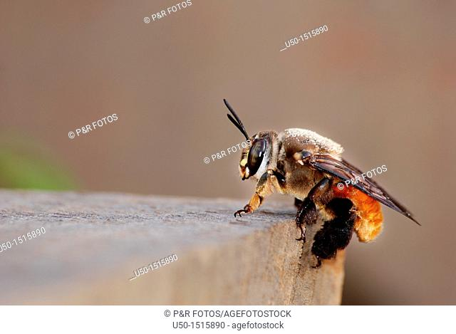 Female of Oil bee, Centris sp , Centridinae, Apidae, Hymenoptera