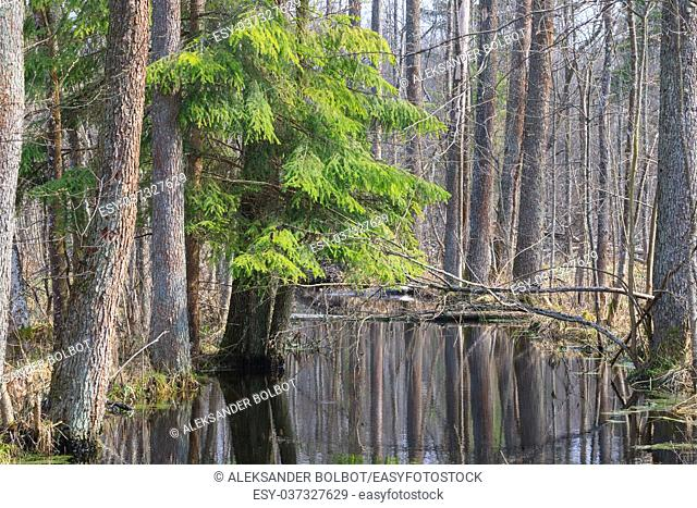 Slow flowing forest river in springtime sun with alder trees by, Bialowieza forest, Poland, Europe