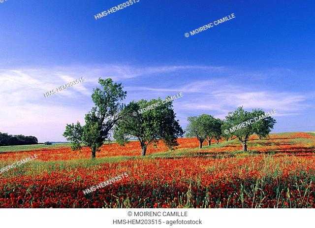 France, Bouches du Rhone, Aix en Provence country, poppies and almond trees