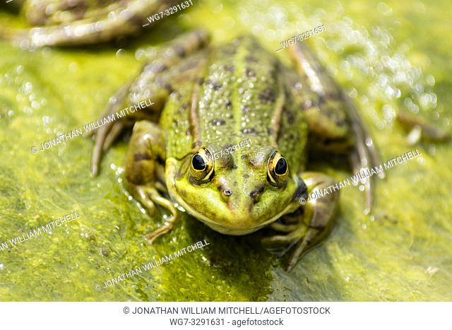 Iberian Green Frog ( Pelophylax perezi ) - also known as Perez's Frog - smiling on algae in a pond