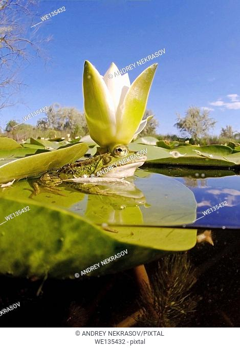 Edible Frog (Pelophylax kl. esculentus) and White water lily (Nymphaea alba), Vilkovo, Ukraine, Eastern Europe
