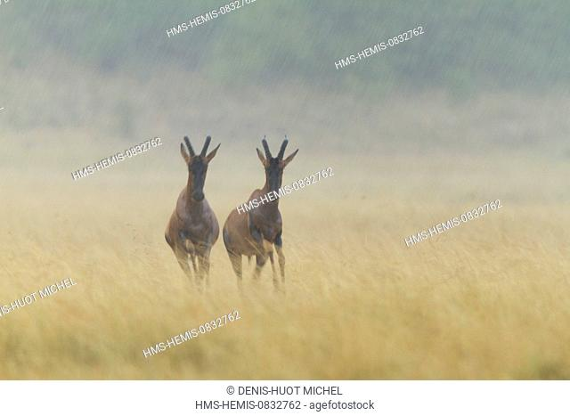 Kenya, Masai Mara National Reserve, topi (Damaliscus korrigum), under the rain