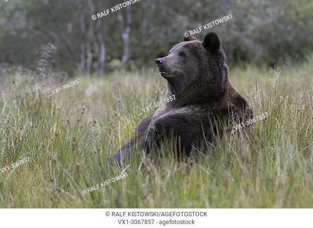 European Brown Bear ( Ursus arctos ) sitting on its butt in high grass of a bog, in funny pose, cute, Europe