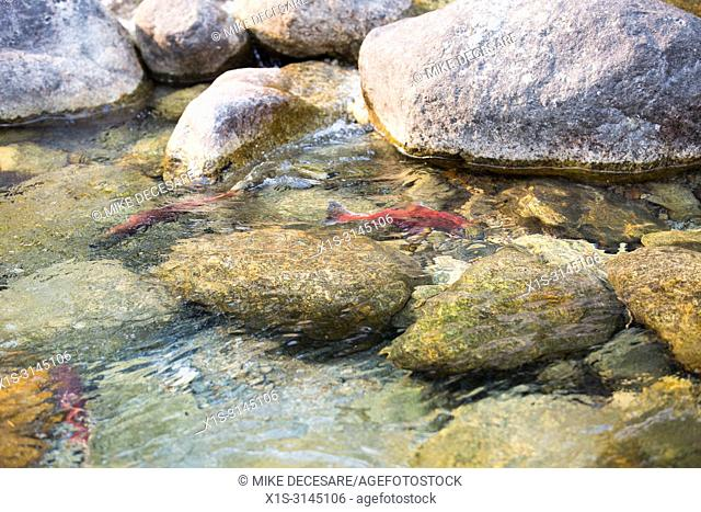 A Kokanee Salmon shows one of nature's wonders in the annual return to a spawning channel in Kokanee Creek, in British Columbia, Canada
