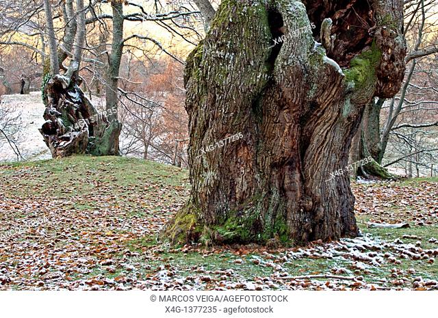 Chestnut tree Castanea sativa in winter