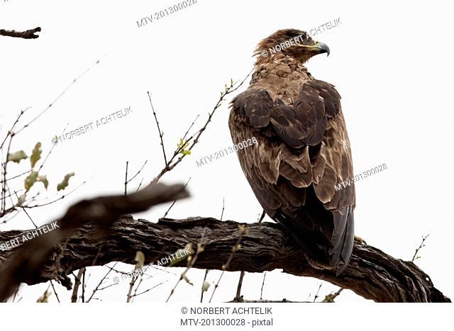 Tawny Eagle (Aquila rapax) perching on a branch, South Africa